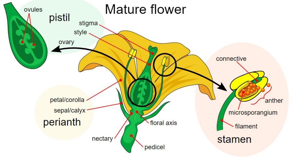 labelled diagram of a flower